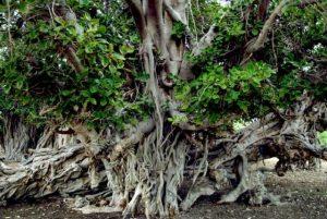 ده نکته ای که باید در مورد درختان لور بدانید
